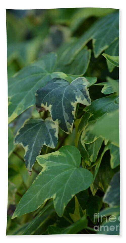 Ivy Greens Hand Towel featuring the photograph Ivy Greens by Maria Urso