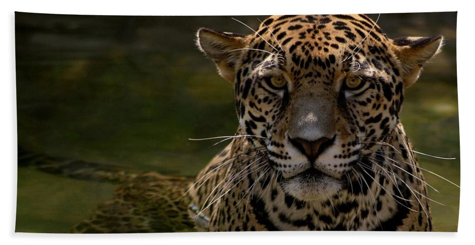 Jaguar Bath Sheet featuring the photograph Jaguar In The Water by Sandy Keeton