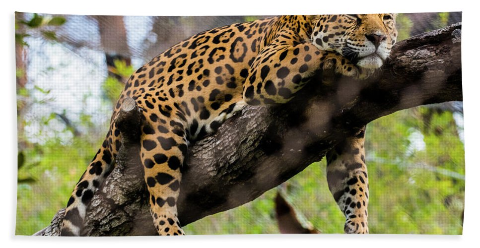 Jaguar Bath Sheet featuring the photograph Jaguar Relaxation by Andrew Lelea