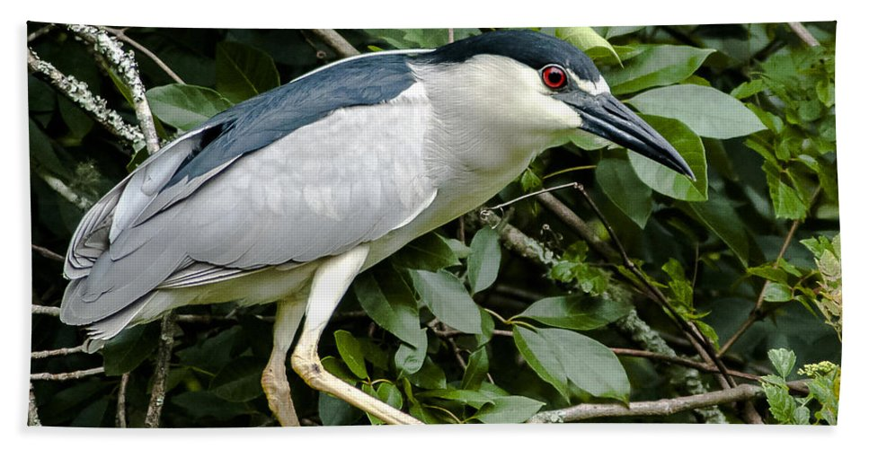 Black Crowned Night Heron Hand Towel featuring the photograph Just A Little Closer by Norman Johnson