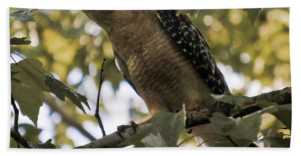 Red Shouldered Hawk Bath Sheet featuring the photograph Just Spotted Dinner by DigiArt Diaries by Vicky B Fuller