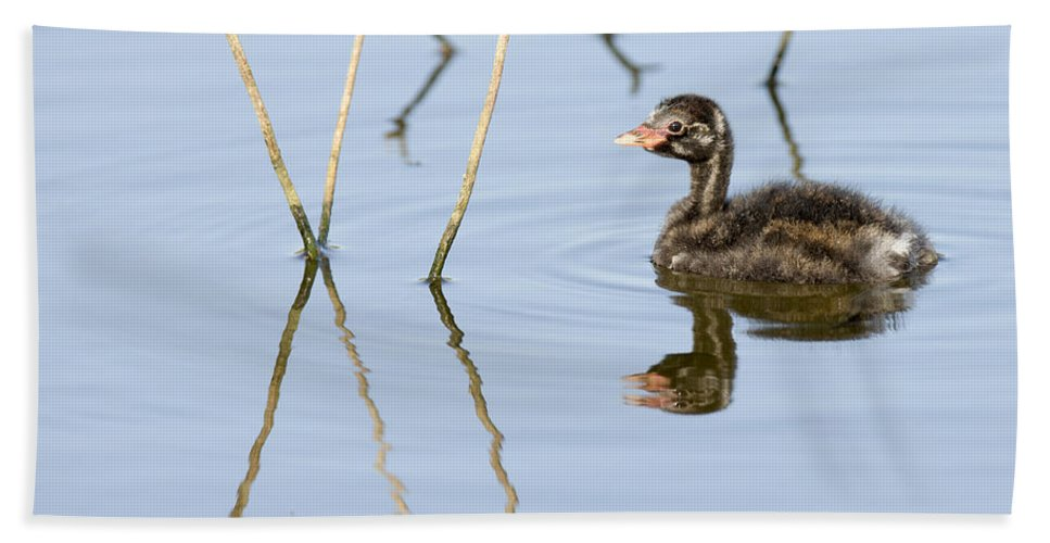 Duckling Bath Sheet featuring the photograph Juvenile Little Grebe Tachybaptus Ruficollis by Alon Meir