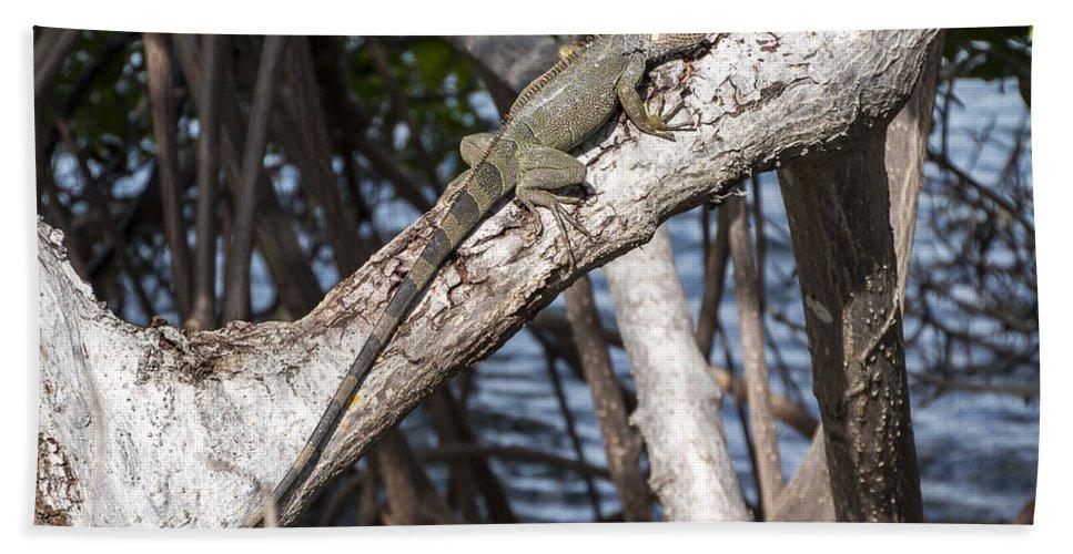 Animal Bath Sheet featuring the photograph Key West Iguana In Mangrove 3 by Bob Slitzan