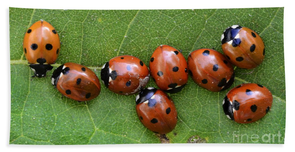 Ladybugs Bath Sheet featuring the photograph Lady Bugs by Bob Christopher