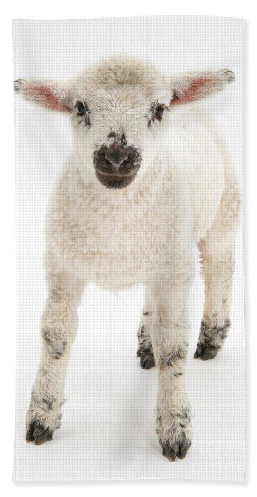 Nature Hand Towel featuring the photograph Lamb Standing by Mark Taylor