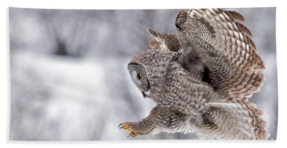 Great Grey Owl Bath Sheet featuring the photograph Landing Great Grey Owl by Daryl L Hunter