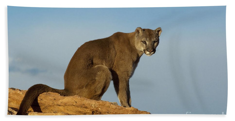 Cougar Bath Sheet featuring the photograph Late Afternoon Foray by Sandra Bronstein