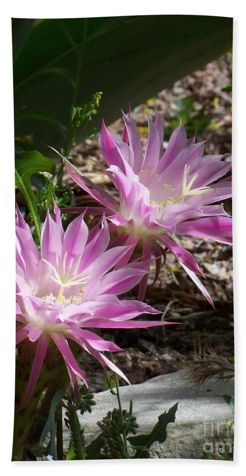 Cactus Bath Sheet featuring the photograph Lavendar Cactus Flowers by Kathy McClure