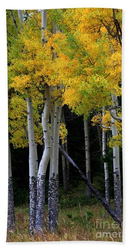 Aspens Hand Towel featuring the photograph Leaning Aspen by Timothy Johnson