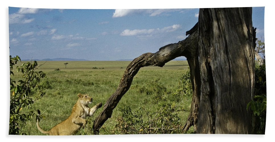 Africa Hand Towel featuring the photograph Leaping Lion by Michele Burgess