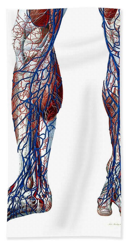 Historic Hand Towel featuring the photograph Leg Blood Vessels, Anatomical by Wellcome Images