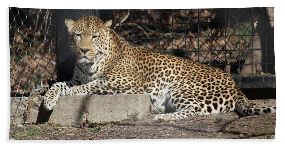 Maryland Hand Towel featuring the photograph Leopard Relaxing by Ronald Reid