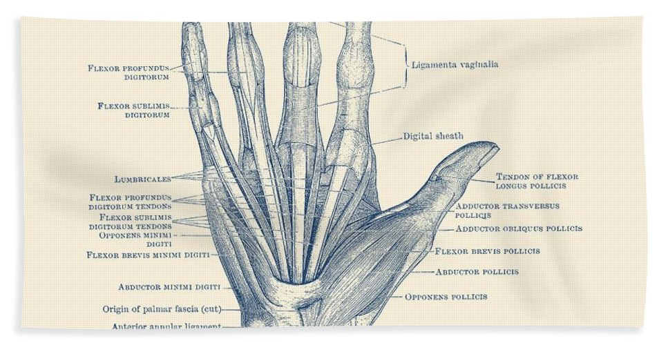 Ligaments And Bones Human Hand Diagram Vintage Anatomy Hand