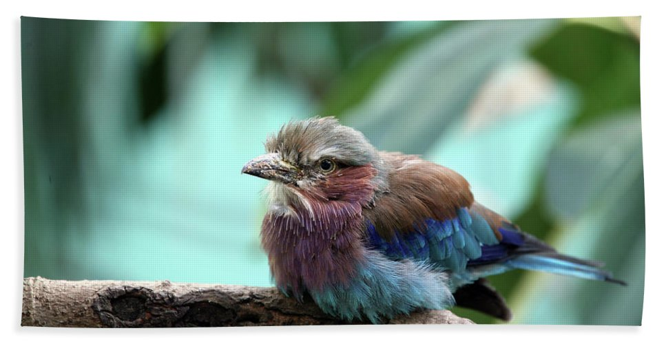 Bird Bath Sheet featuring the photograph Lilac Breasted Roller by Karol Livote