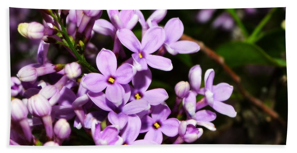 Backyard Hand Towel featuring the photograph Lilac Bush In Spring by Michelle Calkins