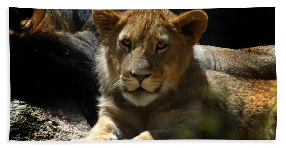 Lions Hand Towel featuring the photograph Lion Cub by Anthony Jones