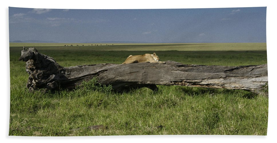 Africa Hand Towel featuring the photograph Lion On A Log by Michele Burgess