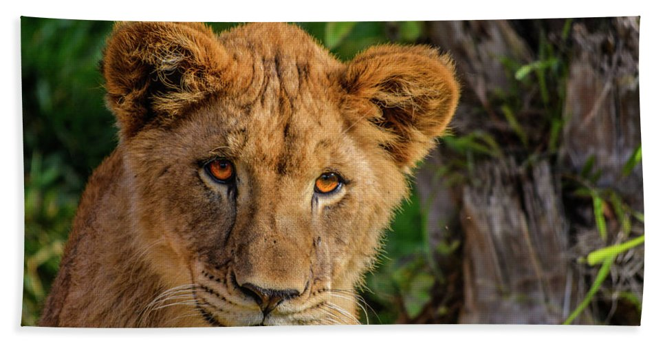 California Bath Sheet featuring the photograph Lioness Cub by Tommy Anderson