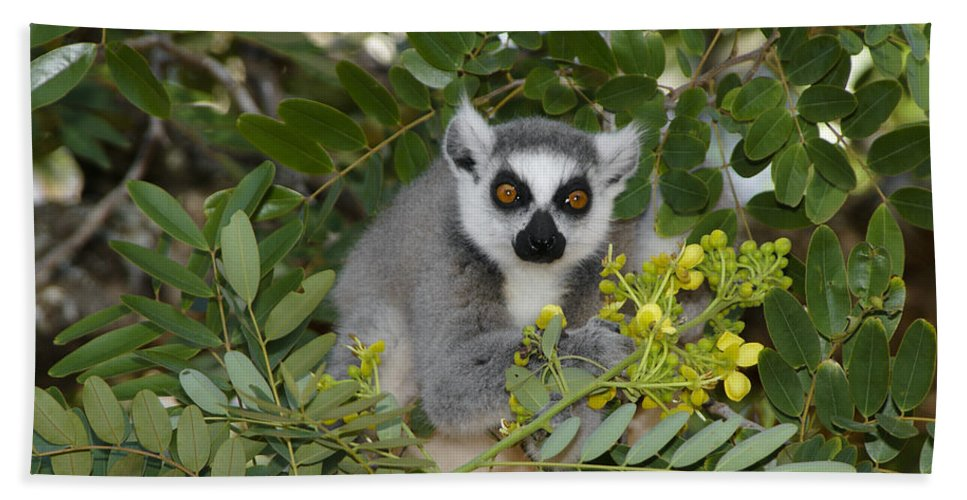 Madagascar Bath Sheet featuring the photograph Little Ring-tailed Lemur by Michele Burgess