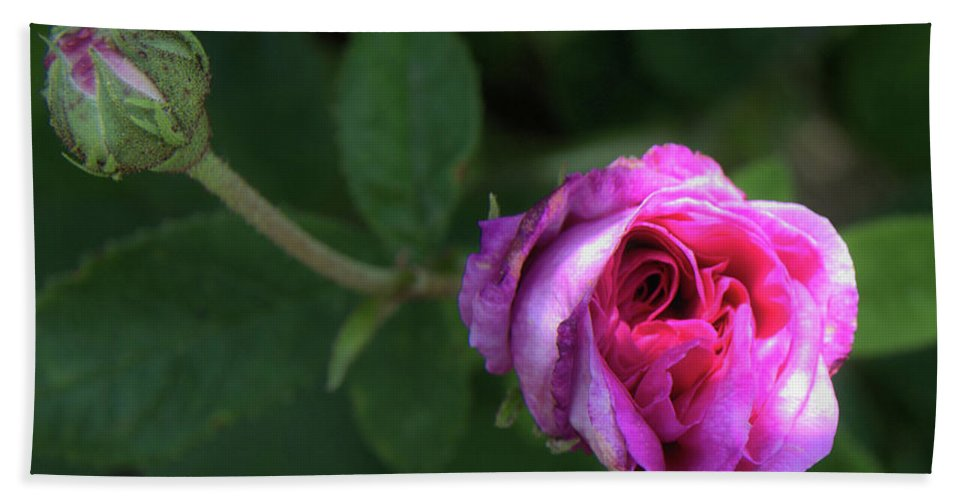 Rose Hand Towel featuring the photograph Little Sun Shine by Edna Weber