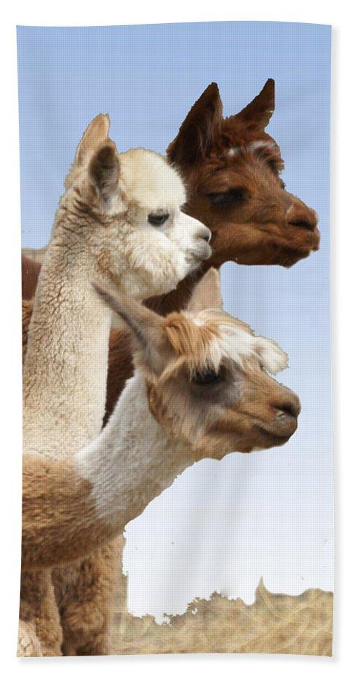 Llama Bath Sheet featuring the photograph Llama's Three by Heather Coen
