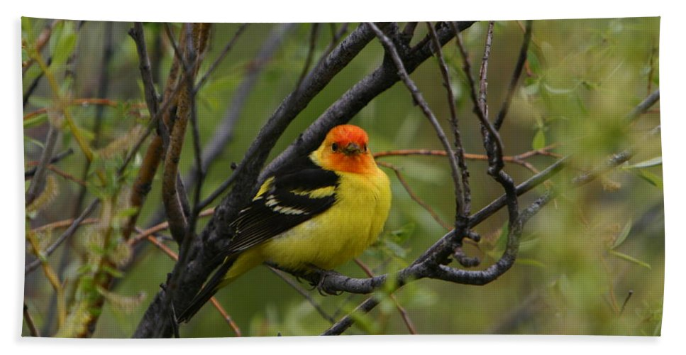 Bird Feathers Western Tanager Wildlife Orange Yellow Black Hand Towel featuring the photograph Looking At You - Western Tanager by Shari Jardina