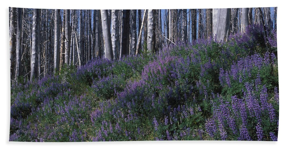 Yellowstone National Park Hand Towel featuring the photograph Lupine On Mt. Washburn - Yellowstone by Sandra Bronstein