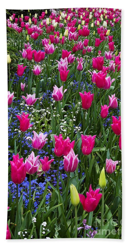 Flower Hand Towel featuring the photograph Magenta And White Tulips by Louise Heusinkveld