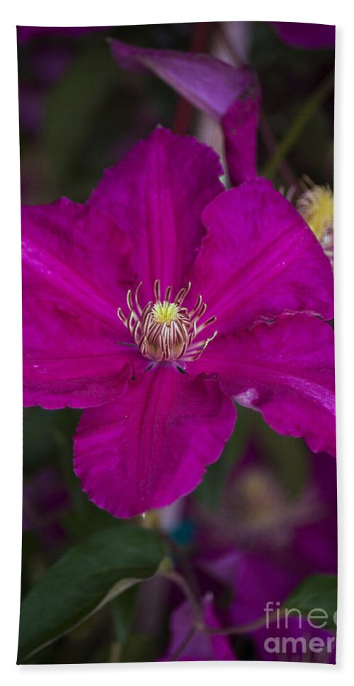 Magenta Hand Towel featuring the photograph Magenta Clematis by Jim And Emily Bush