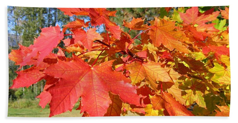 Maple Leaves Hand Towel featuring the photograph Magnificent Maple Leaves by Will Borden