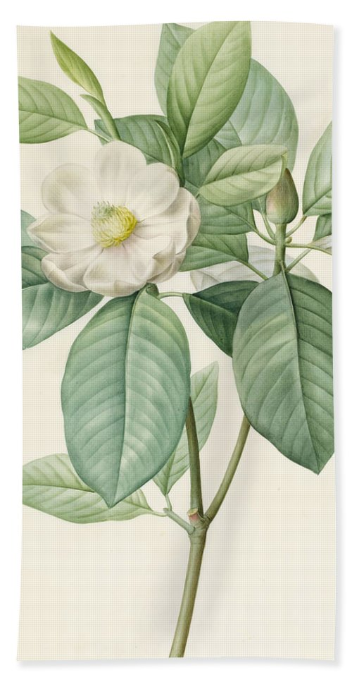 Magnolia Bath Sheet featuring the painting Magnolia Glauca by Pierre Joseph Redoute