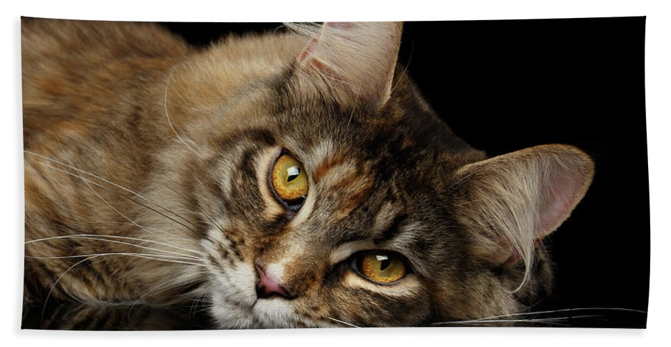 Cat Hand Towel featuring the photograph Maine Coon Cat Lying, Looks Cute Isolated on Black Background by Sergey Taran
