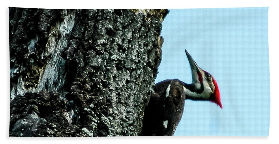 Pileated Woodpecker Hand Towel featuring the photograph Male Pileated Woodpecker by Norman Johnson