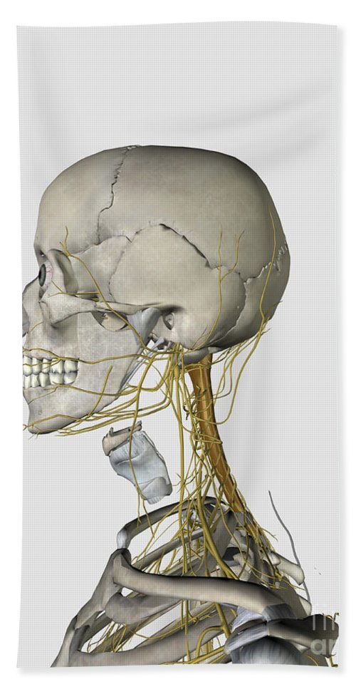 Biomedical Illustrations Bath Sheet featuring the digital art Medical Illustration Showing Thyroid by Stocktrek Images