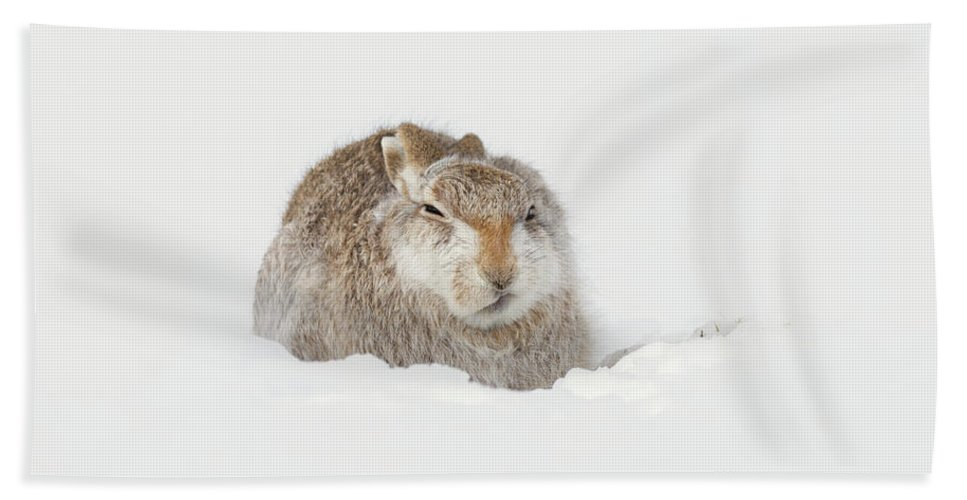 Mountain Hand Towel featuring the photograph Miffed Mountain Hare by Peter Walkden