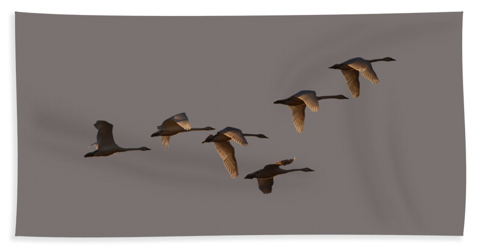 Swans Hand Towel featuring the photograph Migrating Swans by Whispering Peaks Photography