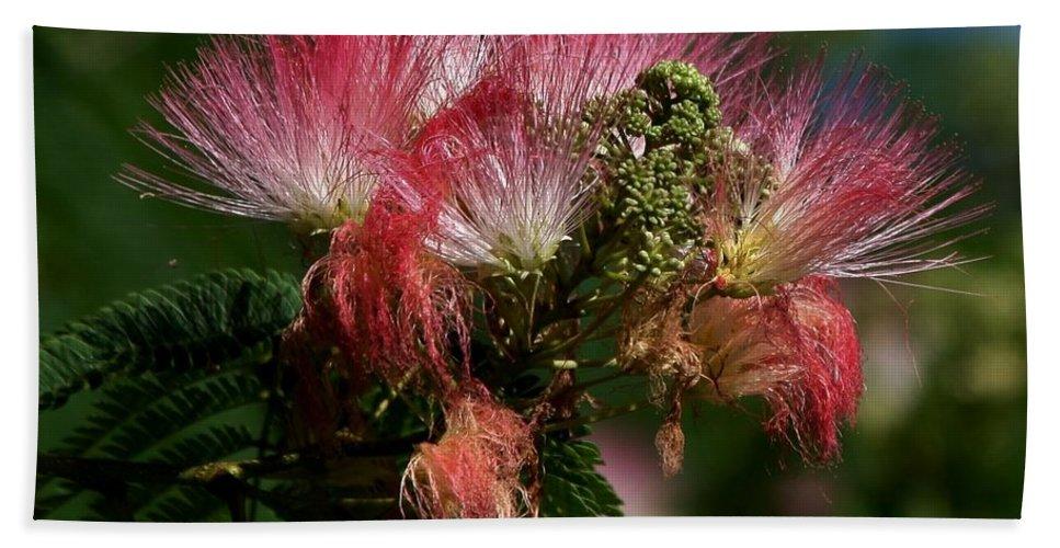Mimosa's Bath Sheet featuring the photograph Mimosas by Kathy Kirkland
