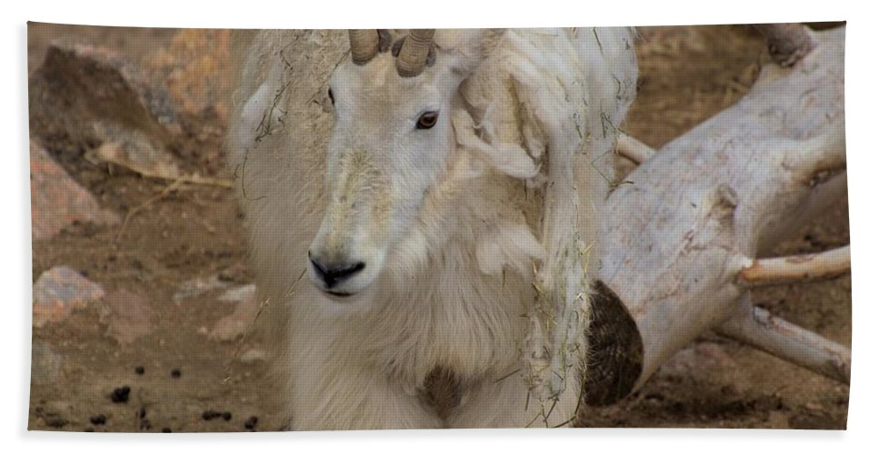cheyenne Mountain Zoo Hand Towel featuring the photograph Molting Mountain Goat by Wendy Fox