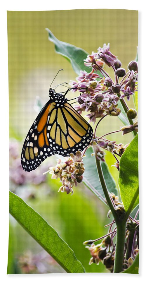 Monarch Butterfly Bath Sheet featuring the photograph Monarch Butterfly On Milkweed by Christina Rollo