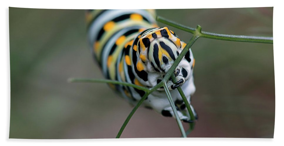 Caterpillar Bath Sheet featuring the photograph Monarch Caterpillar Clutches Dill In Pincers, Macro by Sharon Minish