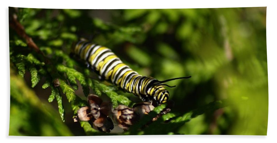 Nature Bath Sheet featuring the photograph Monarch Caterpillar by Denise Ashley