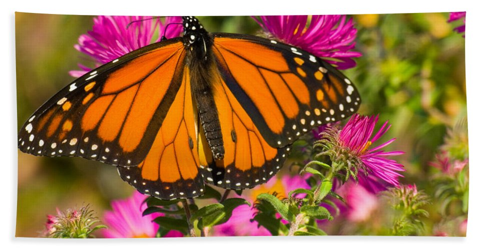 Insect Hand Towel featuring the photograph Monarch Feeding by Chris Lord