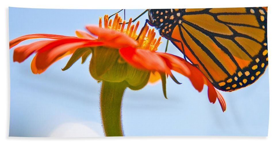 Butterfly Hand Towel featuring the photograph Monarch Working by Chris Lord
