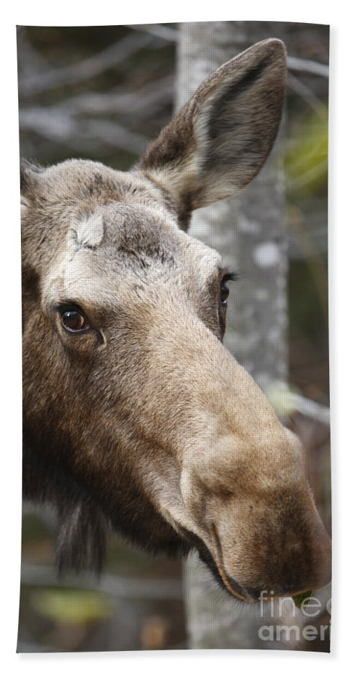 Mountain Bath Towel featuring the photograph Moose - White Mountains New Hampshire Usa by Erin Paul Donovan