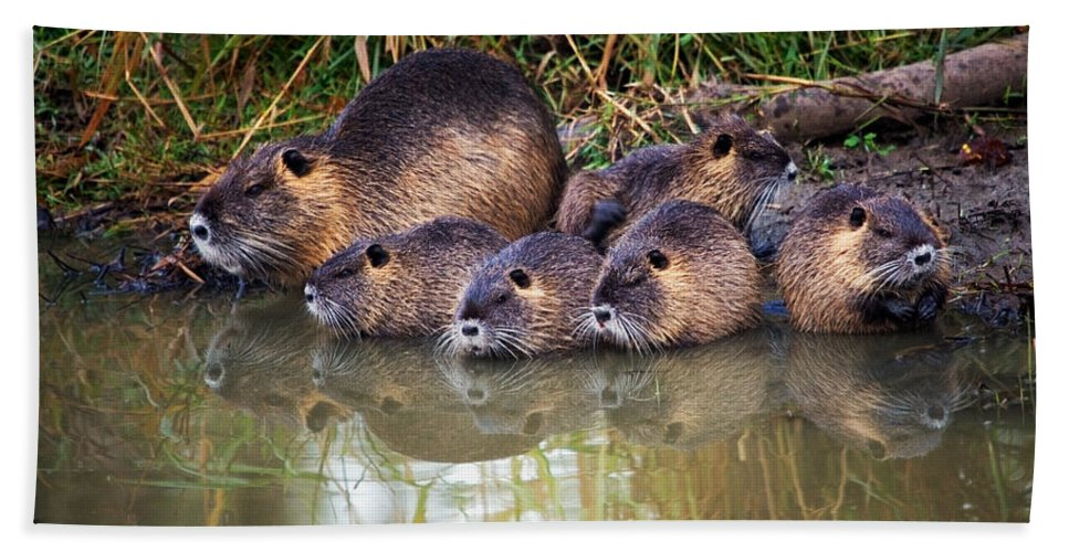 Nutria Hand Towel featuring the photograph Morning Clean Up by Randall Ingalls