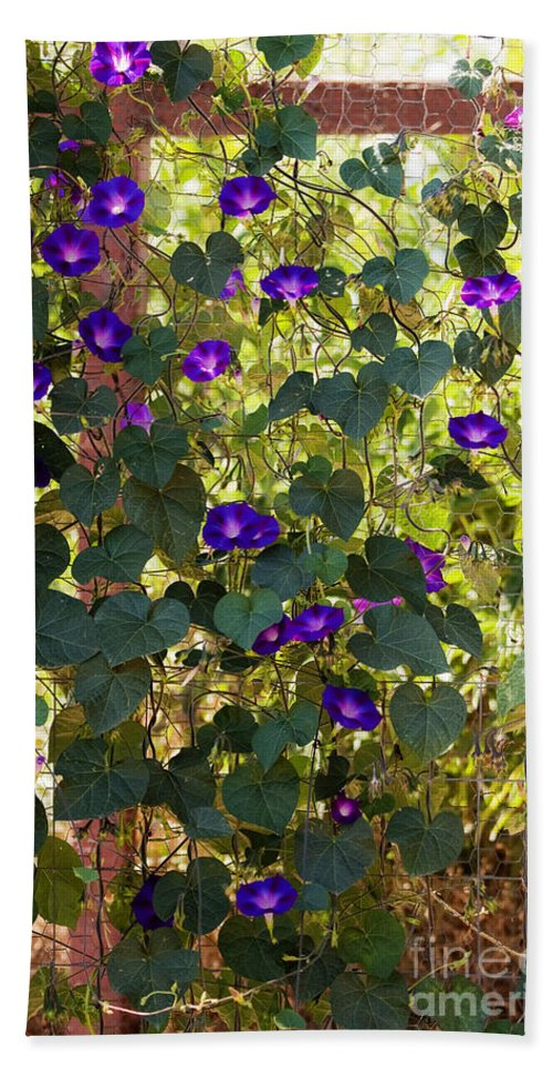 Purple Hand Towel featuring the photograph Morning Glories by Margie Hurwich