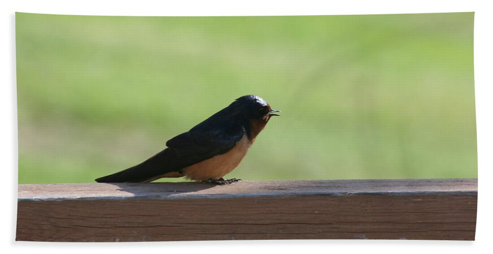 Barn Swallow Nesting Bird Singing Nature Wild Bath Sheet featuring the photograph Morning Song by Andrea Lawrence