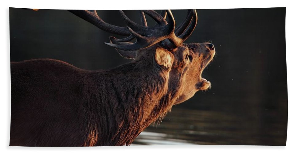 Stag Bath Sheet featuring the photograph Morning Stag by Ceri Jones