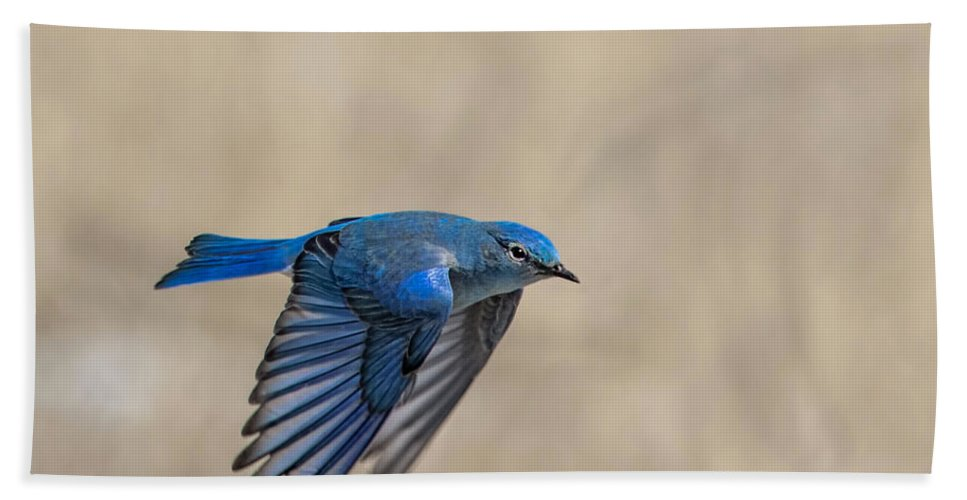Colorado Hand Towel featuring the photograph Mountain Bluebird Male In Flight by Dawn Key