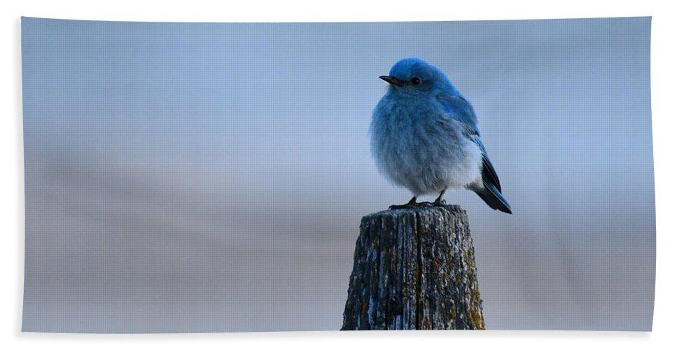Mountain Bluebird Bath Sheet featuring the photograph Mountain Bluebird by Whispering Peaks Photography